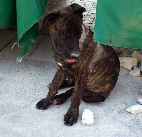 cuccioli incrocio cane corso e pastore tedesco da adottare – roma