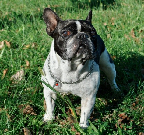 Bouledogue francese da adottare molossi for Bouledogue francese